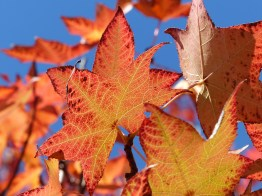 Red liquidamba leaves